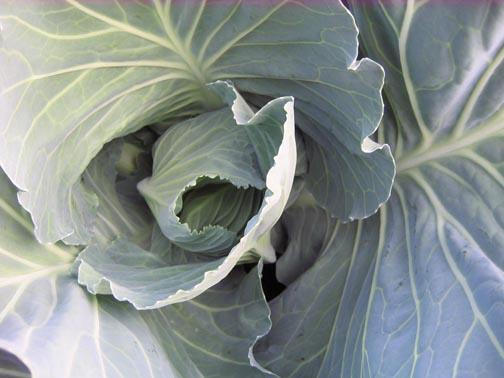 cabbagecloseup.jpg