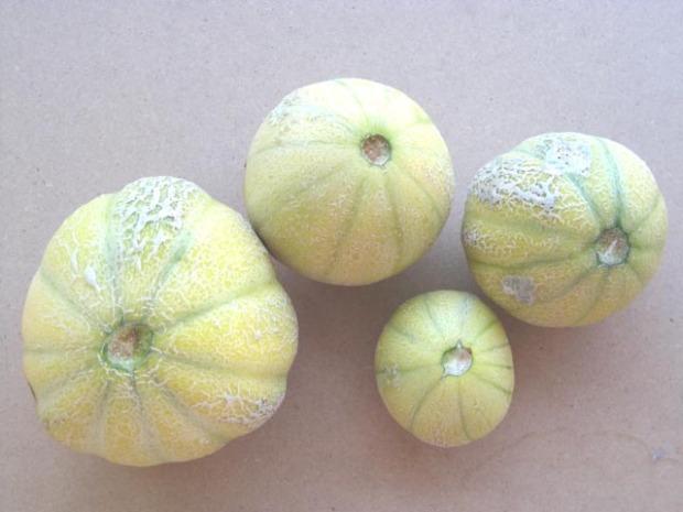 melon midget
